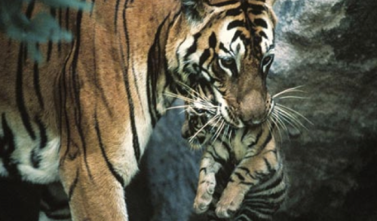 http://photography.nationalgeographic.com/staticfiles/NGS/Shared/StaticFiles/Photography/Images/POD/t/tiger-carrying-cub-513146-ga.jpg