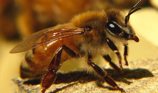 Bees detect electric fields